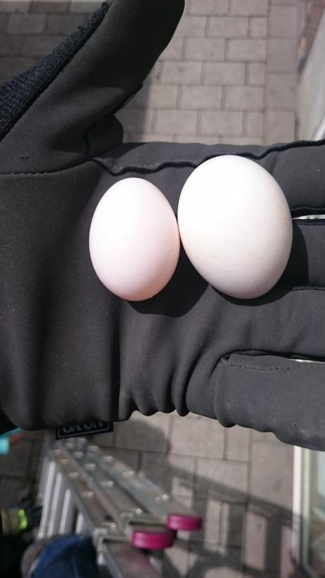 Ausgetauschte Taubeneier durch die Eieraktion