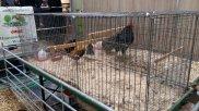Dortmunder Herbst Hühner