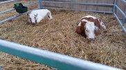 Dortmunder Herbst Kühe