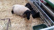 Dortmunder Herbst Schafe