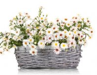 beautiful_bouquet_of_white_flowers_in_basket_isolated_on_white.jpg