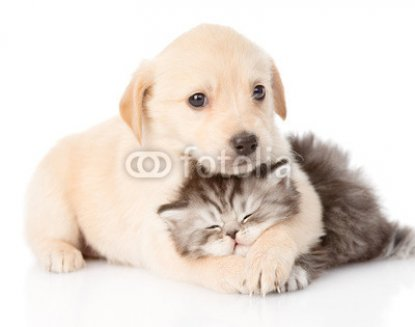 golden_retriever_puppy_dog_hugging_british_cat._isolated_.jpg