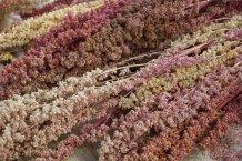 Quinoa-geerntet-1024x681.jpg