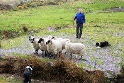 Kells Sheep Centre Ring Of Kerry