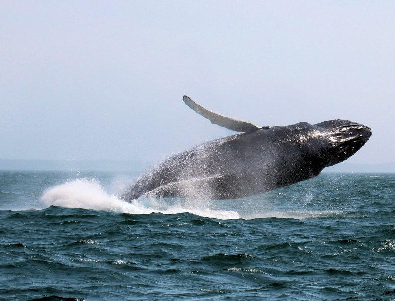 Humpback Whale Jump Brier Island Digby Neck