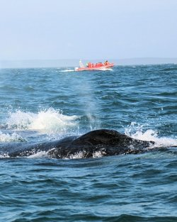Humpback Whale Watching Bay of Fundy