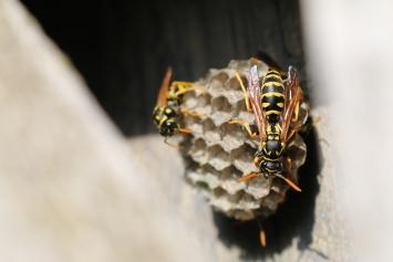 Wespen- und Bienennester
