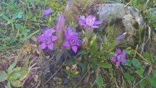 Postalm-Violette-Enzian.jpg