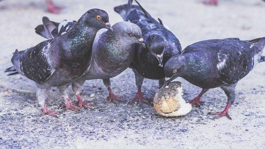 Tauben beim Essen von Resten