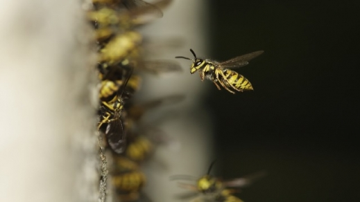 Wespe fliegt ins Nest München Schädlingsfeinde