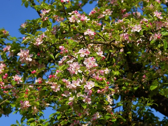 apple-tree-blossom-2292598_640_b.jpg