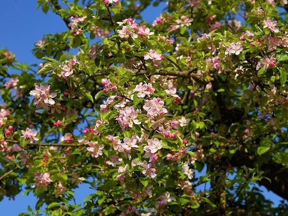 apple-tree-blossom-2292598_640_b.jpg
