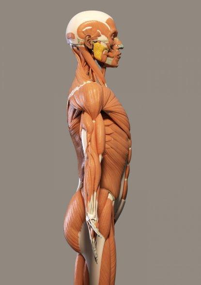 human-muscles-15172572320TG.jpg