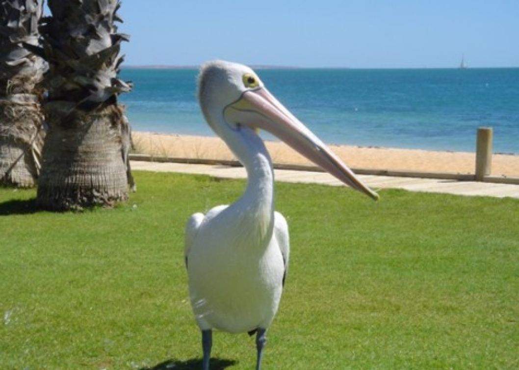 Monkey Mia is also home to many pelicans