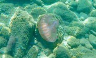 Leuchtqualle (Pelagia noctiluca) IIII - Selten im Golf von Genua anzutreffen + gefahrlos!