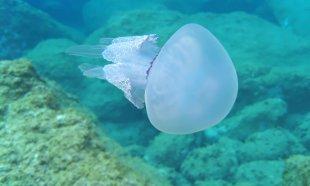Lungenqualle (Rhizostoma pulmo) I - Selten im Golf von Genua anzutreffen + gefahrlos!