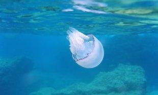 Lungenqualle (Rhizostoma pulmo) III - Selten im Golf von Genua anzutreffen + gefahrlos!