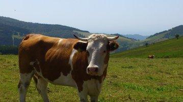 Auch die  Kühe fühlen sich glücklich im Schwarzwald