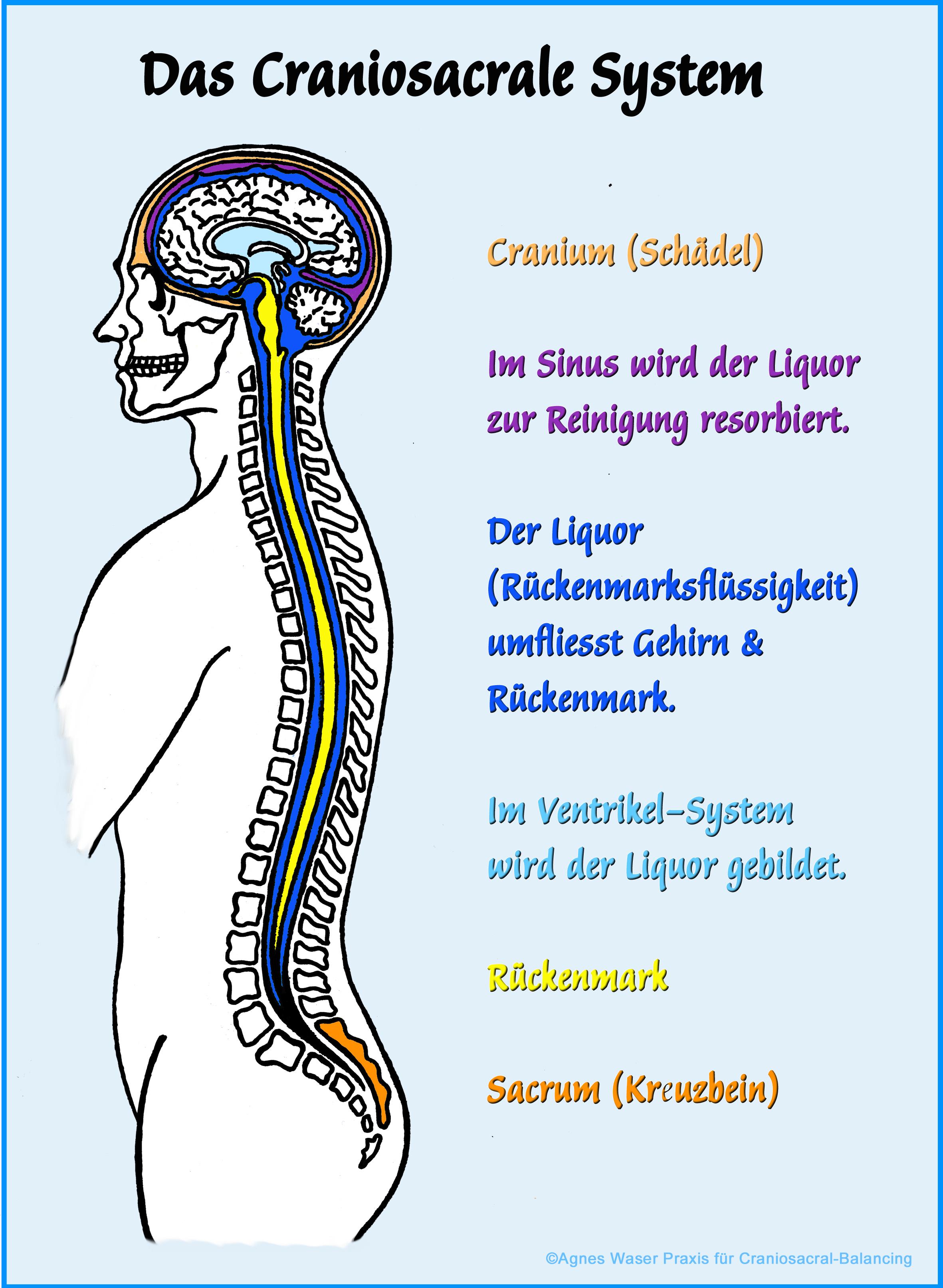 Grafik des Craniosacralen Systems