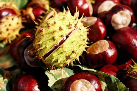Rosskastanie - Eine helfende Frucht