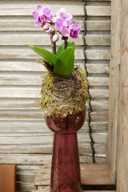 Moos-Kugel-Phalaenopsis-Orchidee-rosa.png